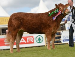 Artnagullion Hannah - Junior Interbreed Champion