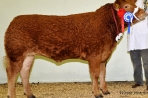 Tomschoice Chanel. 2008 1st prize commercial heifer Gt Yorks, Reserve Commercial Champion Westmorland Show, Purebred Champion Countryside Live, Reserve Purebred Champion English Winter Fair.