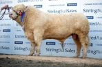 Burradon Goldenballs - son sold at Stirling in Feb 2013 for 22,000gns