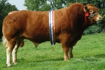 GRAHAMS SAMSON SIRED BROCKHURST BOLSHOI WINS THE 2014 ROYAL HIGHLAND LIMOUSIN CHAMPIONSHIP