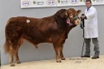 BULLS SIRED BY HALTCLIFFE DOCTOR AND VAGABOND FEATURE AT STIRLING FEBRUARY 2017 LIMOUSIN SALE