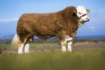 45,000gns UK RECORD-PRICED SIMMENTAL AVAILABLE EXCLUSIVELY ON SEMENSTORE