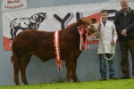 Swarland Eddie does the business at Northern Ireland Calf Spectacular