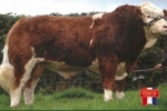 SIMMENTAL BULL DRUMLONE ANCHOR JOINS SEMENSTORE